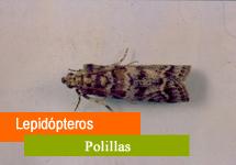 Lepidópteros / Polillas