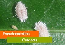 Pseudocóccidos / Cotonet