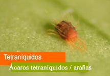 Tetraníquidos / Arañas