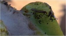 larva de Cryptoblabes gnidiella