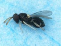 C. lycimnia hembra