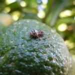Larva de Chilocorus bipustulatus. Foto J.M. Campos