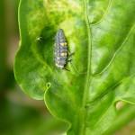 Larva de Adalia bipunctata