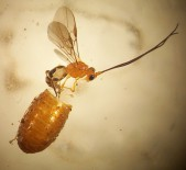D. triony recién emergido de una pupa de mosca de la fruta