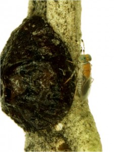 M. lounsburyi parasitando caparreta negra. Foto de A. Tena