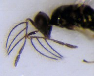 Macho adulto de P. pecticornis