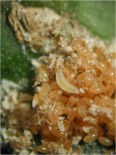 Larva de S. caeruela alimentándose de huevos de caparreta negra