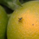 La Generalitat inicia los tratamientos terrestres contra la mosca de la fruta en zonas citrícolas