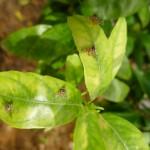 Actualización campaña mosca de la fruta (Ceratitis capitata)