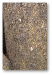 Figura 2. Cotonet en tronco.