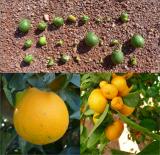 Figura 5. Frutos con daños producidos por D. averiae.
