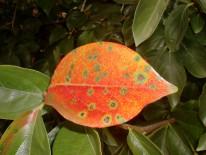 Algunas variedades adquieren una tonalidad rojiza al ser afectadas