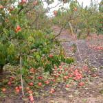 Tratamientos necrosis foliar caqui