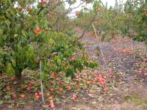 Árbol con sintomas de abscisión anticipada inducida por las lesiones de las hojas y la defoliación