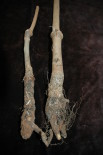 Plantón afectado por Rosellinia necatrix