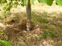 Avance del micelio de Armillaria desde las raíces afectadas hasta la parte basal del tronco