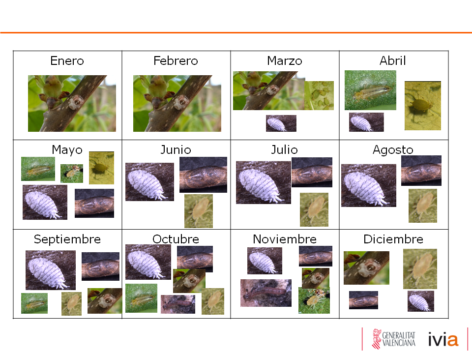 Identificación y evolución poblacional de especies-plaga del cultivo