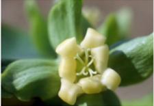 flor caqui