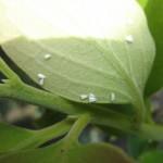 Adultos mosca blanca